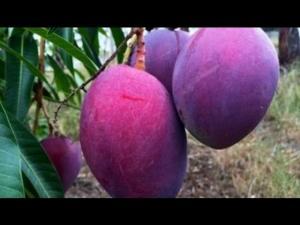 Cung cấp số lượng lớn giống cây ăn quả, giống xoài các loại, xoài tím, xoài úc