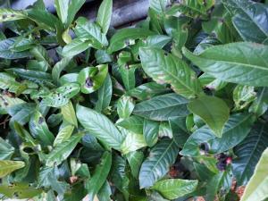 Hoa hải đường cây giống