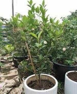 Cung cấp cây giống cherry brazin số lượng...