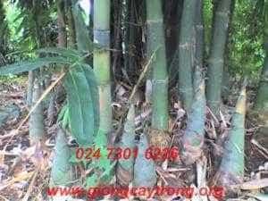 Bán cây giống Tre Bát Độ