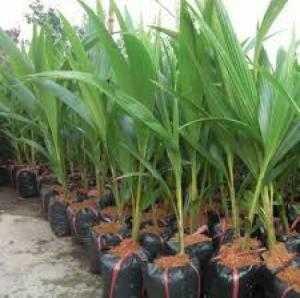 Cung cấp giống dừa xiêm, dừa lửa, số lượng lớn, giao hàng toàn quốc