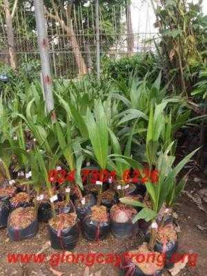 Bán cây giống Dừa Xiêm lùn