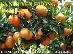 Bán giống cây cam sành, cam đường canh hàng chuẩn giống f1 - giao cây toàn quốc