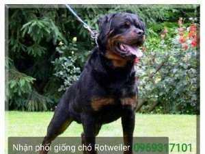 Trại Rottweiler Đức Dòng Đại Bình Dương