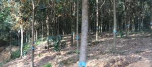 Bán rẫy 1,6 ha cao su mới mở miệng Đồng Tiến