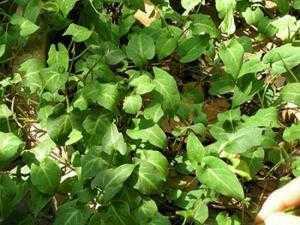 Cung cấp giống cây dược liệu cây hà thủ ô, hà thủ ô đỏ, chất lượng, uy tín