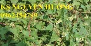 Bán cây hà thủ ô làm thuốc, địa chỉ cung cấp các loại cây giống chất lượng - giao cây toàn quốc