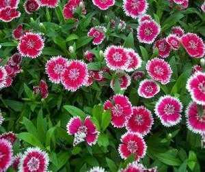 Giống hoa cẩm chướng chơi tết