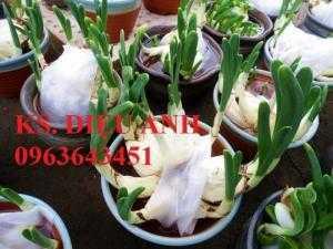 Chuyên cung cấp sỉ, lẻ củ giống hoa thủy tiên, hoa thủy tiên trồng đất,trồng nước