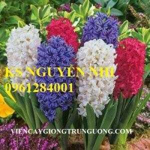 Cung cấp số lượng lớn hoa tiên ông, hoa dạ lan hương chơi Tết 2018