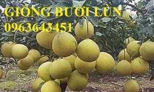 Chuyên cung cấp cây giống bưởi lùn Tứ Xuyên, cây giống bưởi lùn nhập khẩu chuẩn, uy tín, giao cây toàn quốc