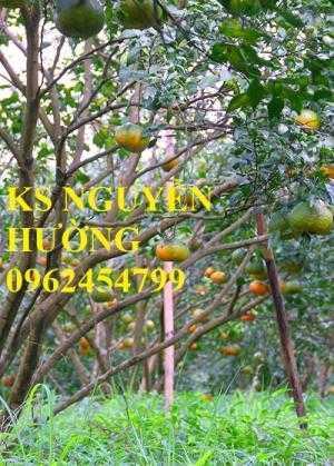 Cung cấp cây giống cam bù Hương Sơn, cam sành Hà Giang, cam sành Tuyên Quang chuẩn giống