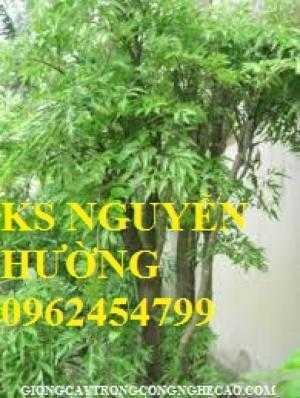 Cây giống đinh lăng,rễ đinh lăng, lá đinh lăng. địa chỉ cung cấp cây giống chất lượng - giao cây toàn quốc