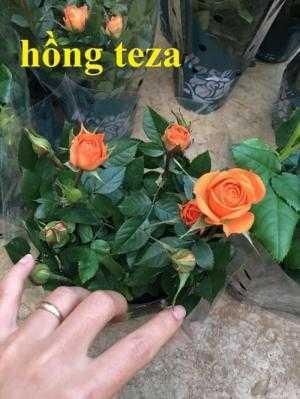 Giống hoa hồng ngoại tezza, hồng tezza siêu nụ, ra hoa liên tục.