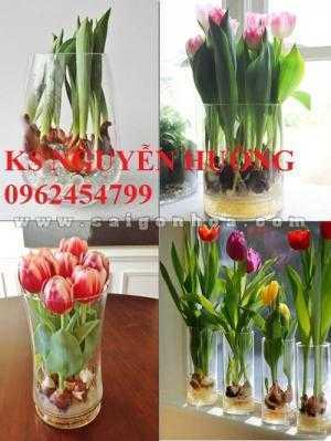 Cung cấp hoa tuylip thành phẩm chơi tết. kỹ thuật trồng và chăm sóc hoa tuylip nở đúng dịp Tết