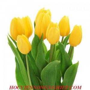 Cung cấp , nhận đặt hàng hoa tuylip phục vụ chơi tết nguyên đán