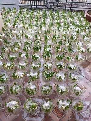 sỉ số lượng lớn củ hoa thủy tiên