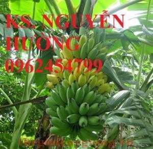 Cung cấp cây giống chuối nuôi cấy mô, chuối tây thái, chuối tiêu hồng và các loại giống cây chuối khác