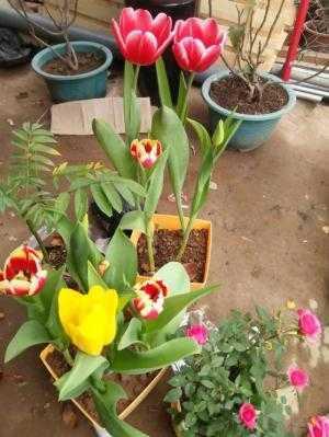 Hoa Tuylip thành phẩm, Cung cấp số lượng lớn.