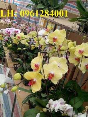 Lan hồ điệp, sự lựa chọn tinh tế của người chơi hoa. địa chỉ cung cấp hoa cây cảnh toàn quốc