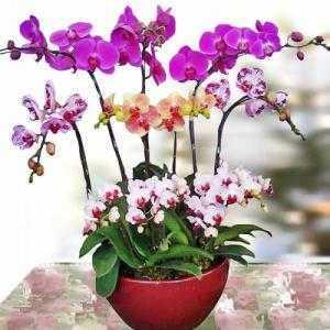Hoa lan hồ điệp, Ý nghĩa loài hoa sắc đẹp lộng lẫy, cao sang này!!!