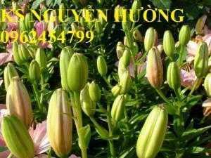 Hoa lyly, ý nghĩa hoa lyly, những điều bí ẩn cần khám phá hoa lyly