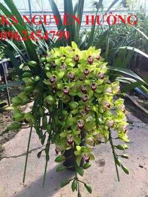 Hoa địa lan, địa lan chơi Tết, địa chỉ cung cấp hoa cây cảnh toàn quốc