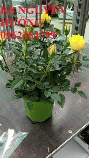 Hồng tezza, hồng tera, hồng ngoại siêu nụ. địa chỉ chuyên cung cấp hoa cây cảnh chơi tết