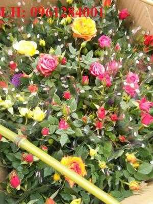 Hồng tezza, hồng terra, hồng ngoại, hồng ngoại dâm cành, hồng siêu nụ. cung cấp tất cả hoa cây cảnh chơi tết