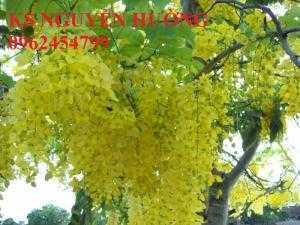 Muồng hoàng yến, osaka. địa chỉ cung cấp hoa cây cảnh toàn quốc