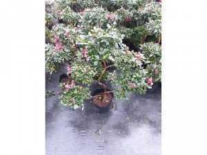 Đỗ quyên bonsai 5 tầng nhỏ