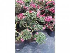 Đỗ quyên bonsai 5 tầng lớn