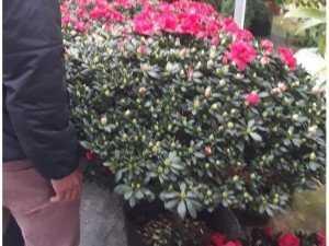 Đỗ quyên bonsai lớn