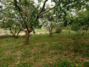 Bán đất điều Tân Phước Đồng Phú Bình Phước