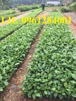 Chuyên cung cấp các loại cây giống giổi, giổi xanh, giổi ghép chất lượng