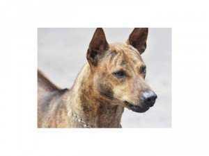 Bán chó Phú Quốc Đực dòng VKA