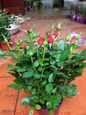 Cung cấp hoa hồng mini các loại , chơi tết