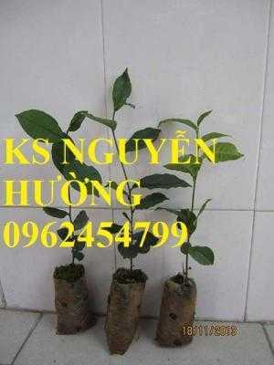 Kỹ thuật trồng và chăm sóc cây trà xanh tại nhà. cung cấp số lượng lớn cây giống trà xanh