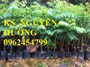 Kỹ thuật trồng cây sưa đỏ, bán giống cây sưa đỏ số lượng lớn - giao cây toàn quốc