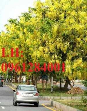 Bán cây giống muồng hoàng yến số lượng lớn, địa chỉ cung cấp uy tín chất lượng