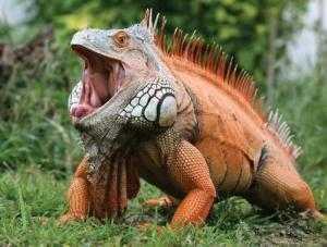 Iguana- Pet của các bạn