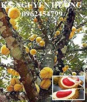 Bán cây giống sầu riêng ruột đỏ, sầu riêng musaking, sầu riêng mosaking chất lượng