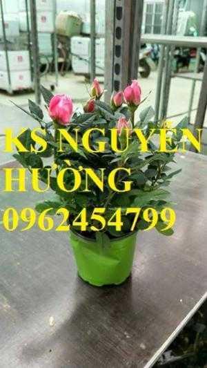Cung cấp các loại hoa chơi tết. địa chỉ cung cấp hồng tỉ muội siêu nụ - giao cây toàn quốc