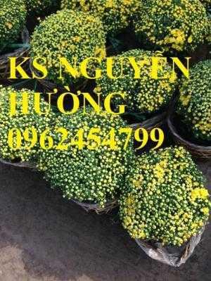 Cúc, cúc mâm xôi, cung cấp các loại cúc chơi tết, hoa đa dạng siêu nụ chất lượng