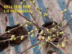 Chuyên hoa đào đỏ, hoa mai đỏ, cây mai đỏ bonsai chơi tết 2018, hàng chuẩn đẹp, giá sỉ tốt nhất thị trường