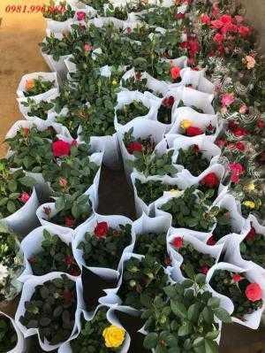 Hoa hồng siêu nụ chơi tết , sỉ toàn quốc