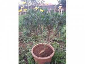 Cúc thân gỗ - cúc trường thọ