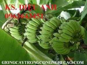 Địa chỉ cung cấp giống chuối cấy mô: chuối tây Thái Lan, chuối sứ Thái, chuối mốc Thái, chuối xiêm Thái