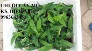Địa chỉ cung cấp cây giống chuối tây Thái Lan lùn nuôi cấy mô, chuối sứ lùn cấy mô, chuối mốc lùn cấy mô