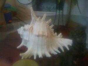 Ốc biển nghệ thuật Nha Trang, để tủ rất đẹp dài 23 cm, TL 70k